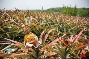 地方 特產 楠西楊桃搭配南化黑糖,四月與台南的甜蜜約定!